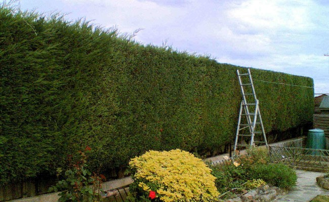 Neat-hedge-trimming